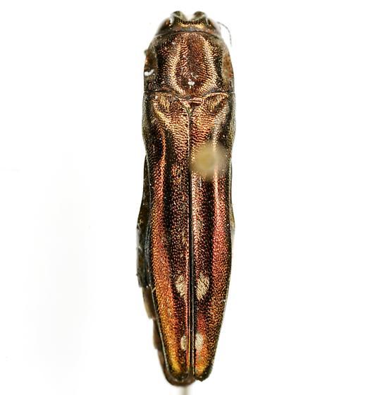 Agrilus cavatus Chevrolat - Agrilus cavatus
