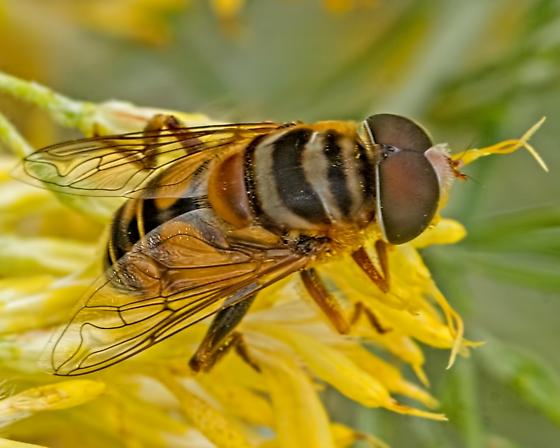 Unknown 'Bug' 8640 - Palpada vinetorum