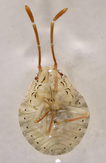 Chlorocoris nymphs - Chlorocoris