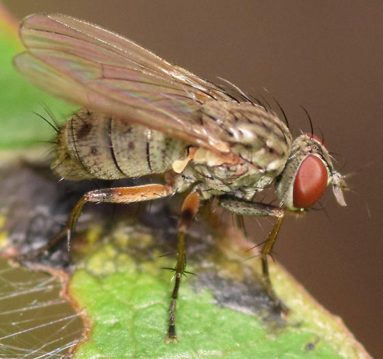 Coenosia octopunctata - Coenosia - female