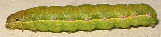 Catapiller Id Request - Spodoptera exigua