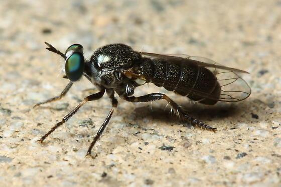 Robber Fly - Atomosia melanopogon