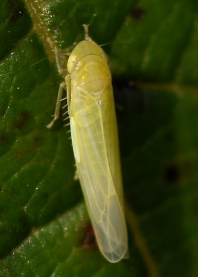 Leaf Hopper Cicadellidae Chlorotettix - Forcipata