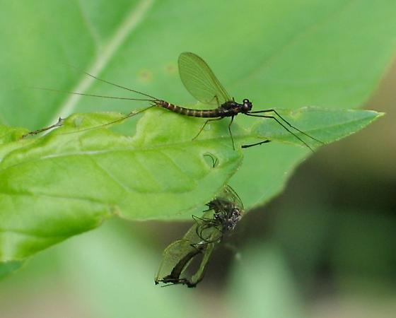 dark 2-winged mayfly - Paraleptophlebia
