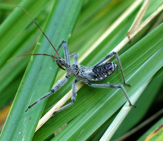 Young Assassin Bug - Arilus cristatus