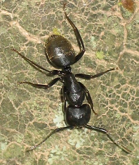Camponotus pennsylvanicus? - Camponotus pennsylvanicus