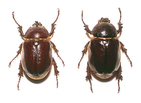 Sleeper's Elephant Beetle Pair - Megasoma sleeperi - male - female