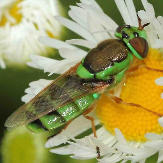 soldier fly - Odontomyia cincta - female