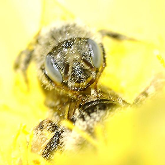 Calliopsis (Nomadopsis) puellae face - Calliopsis puellae