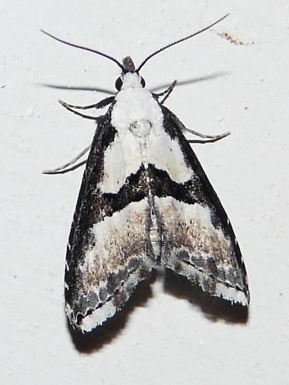 Moth ID help please. - Nigetia formosalis