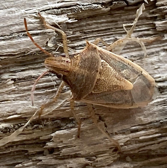 Podisus maculiventris - Spined Soldier Bug? - Oebalus pugnax