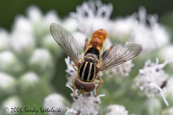 Syrphid Fly - Lejops