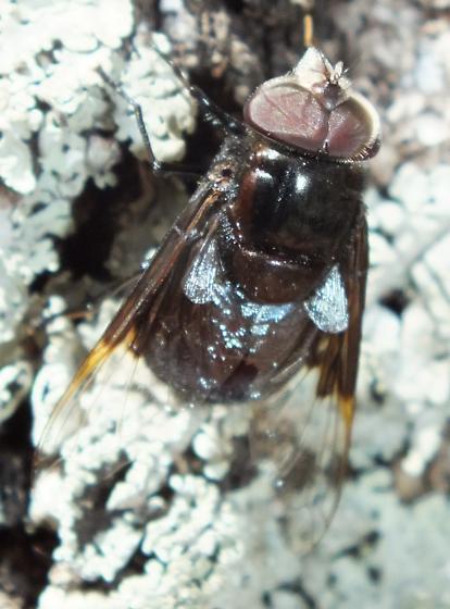 Syrphidae (2) - Copestylum violaceum