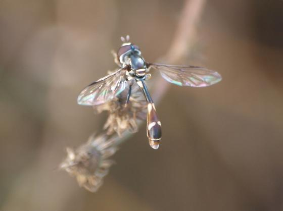 Small fly - Dioprosopa clavata