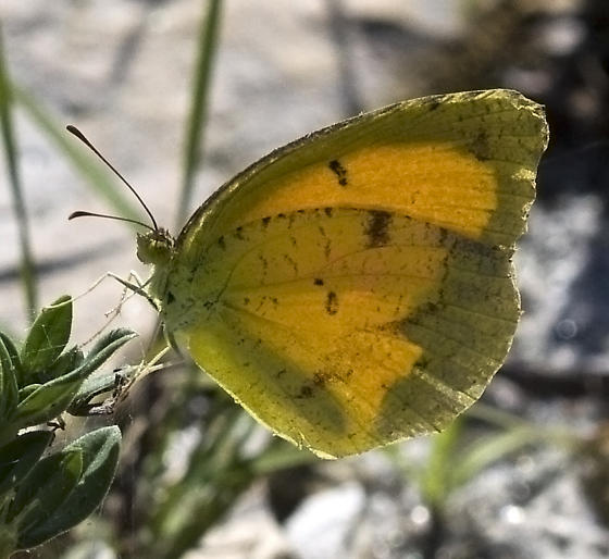 Sulpher Butterfly - ID please - Abaeis nicippe