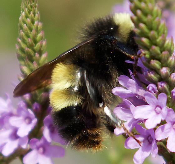 small bumble bee - Bombus terricola