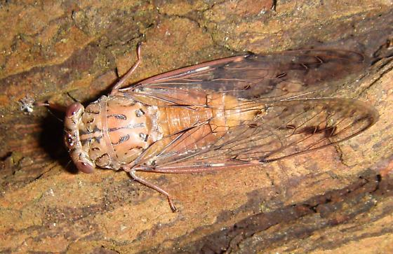 Cape Canaveral cicada3 Neocicada hieroglyphica? - Neocicada hieroglyphica