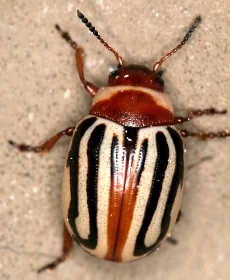 Calligraphy beetle - Zygogramma conjuncta