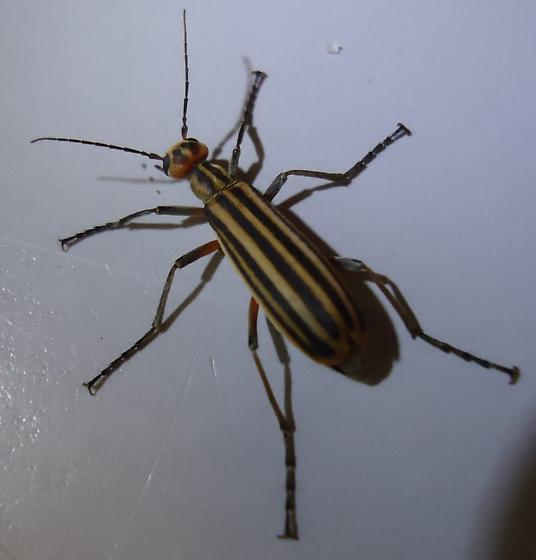 Beetle - Tomato plant eaters - Epicauta vittata