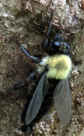 Bee mimic or bee  on stump - Laphria thoracica