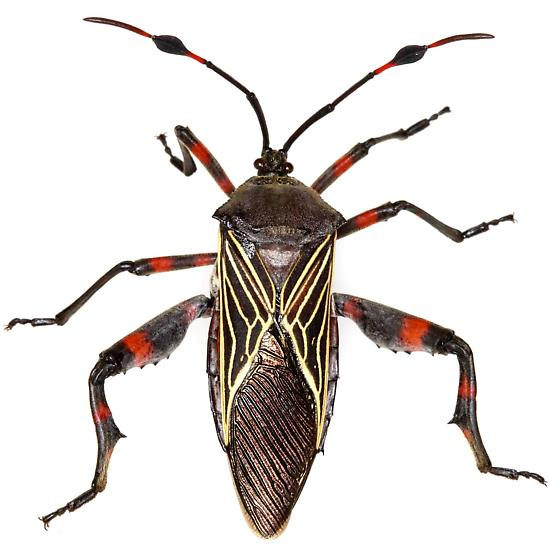 Giant Mesquite Bug? - Thasus neocalifornicus
