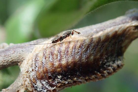 Podagrion sp. Mantis Wasp - female
