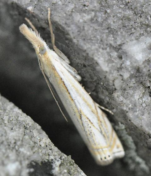 Unknown Crambid - Crambus
