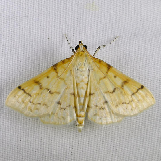 Ironweed Root Moth - Polygrammodes flavidalis