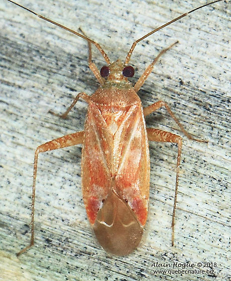 Phytocoris diversus ? - Phytocoris