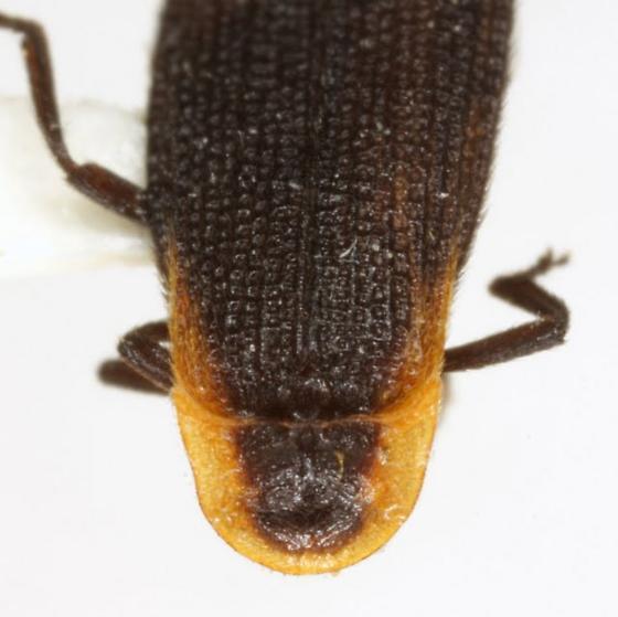 Plateros capitatus Green - Plateros capitatus - male