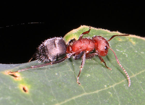 hairy red and black ant - Compact Carpenter Ant? - Camponotus planatus