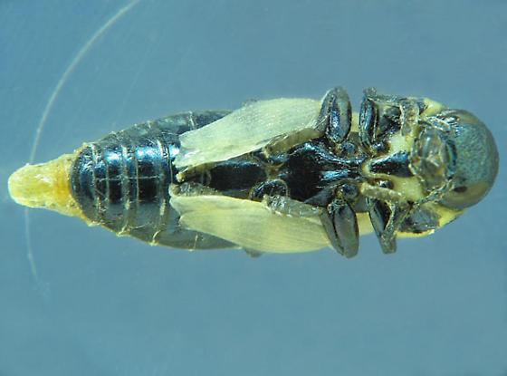 Sotol stalk pupa --  now metallic - Thrincopyge alacris