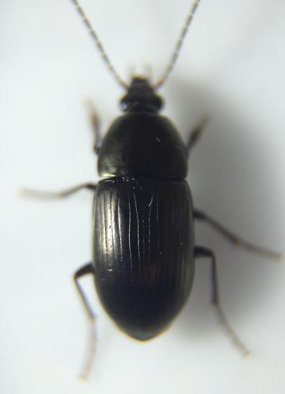 Carabid - Stenocrepis duodecimstriata - male