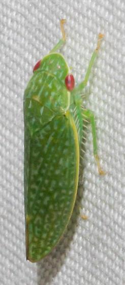 Orange-footed green leafhopper - Rugosana querci