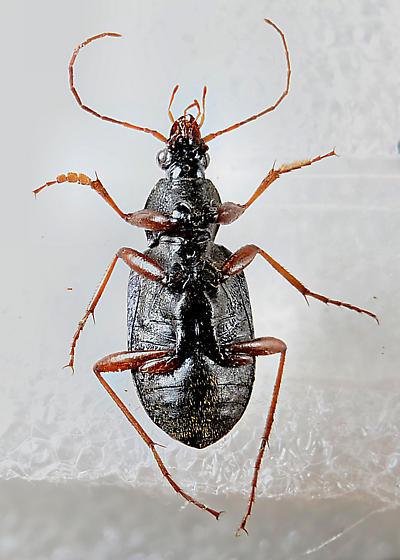 Carabid - Chlaenius tricolor - male