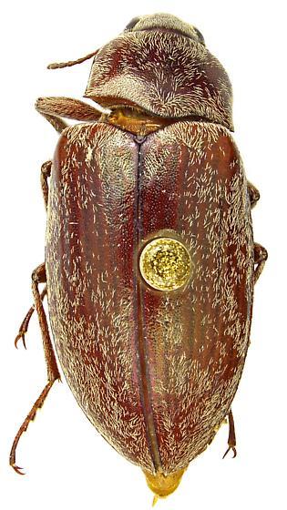 Pechalius pilosus
