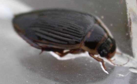 Dytiscidae in Yellowknife - Dytiscus dauricus