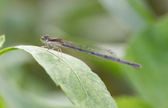 Damselfly Species - Ischnura hastata
