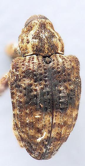 bumpy weevil - Conotrachelus juglandis