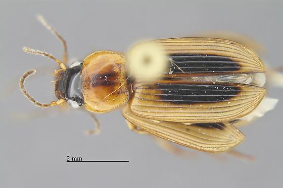 Coleoptera - Stenolophus comma
