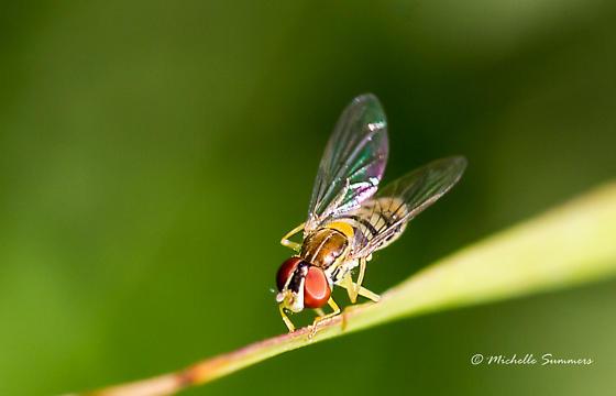 Fly - Toxomerus