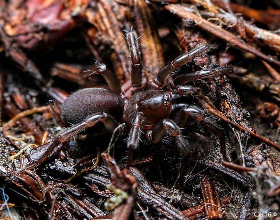 Mecicobothriidae - Hexura rothi
