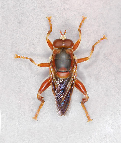 fly - Teuchocnemis bacuntius
