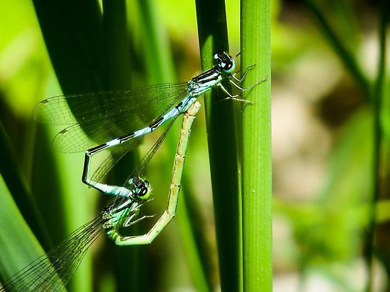 Damselflies - Coenagrion resolutum - male - female