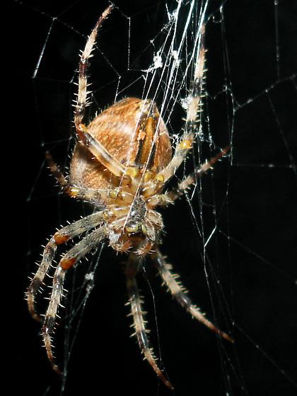 Orbweaver Spider - Araneus diadematus
