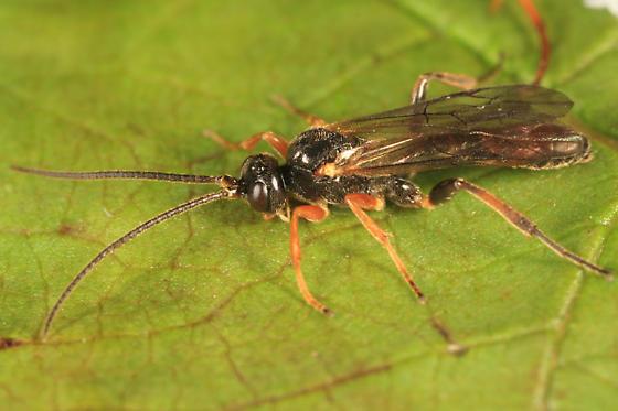 Ichneumon - Glyphicnemis vulgaris - male