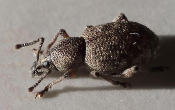 Beetle - unknown - Otiorhynchus singularis