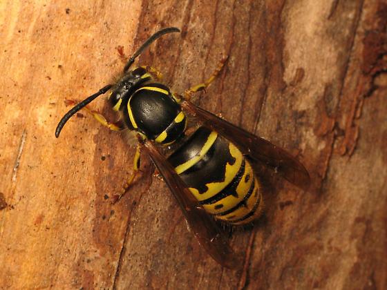 Yellowjacket queen - Vespula alascensis - female
