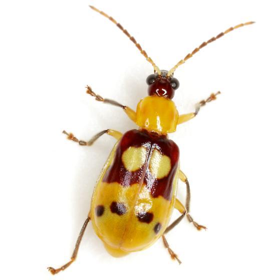 Paranapiacaba connexa (J. L. LeConte) - Paranapiacaba connexa
