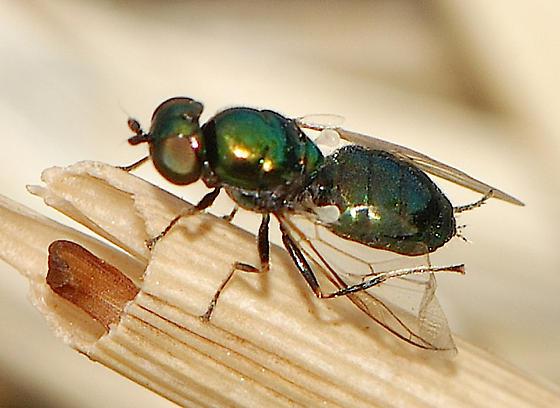 small metallic fly - Microchrysa polita? - Microchrysa polita - female
